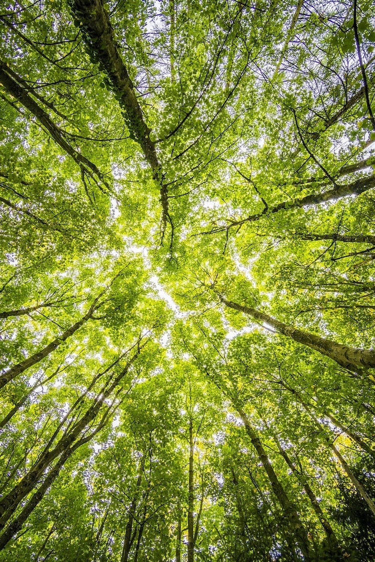 Protéger la nature à travers le tourisme vert : foret verte et arbres immenses