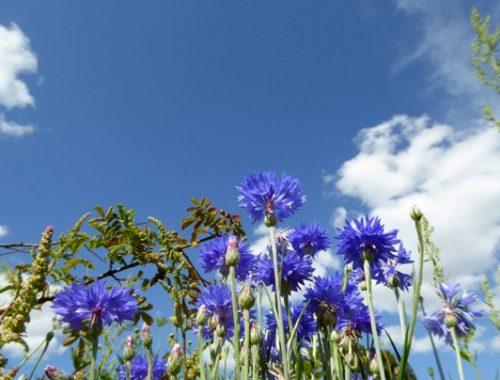 Fleurs vue depuis le sol en Limousin